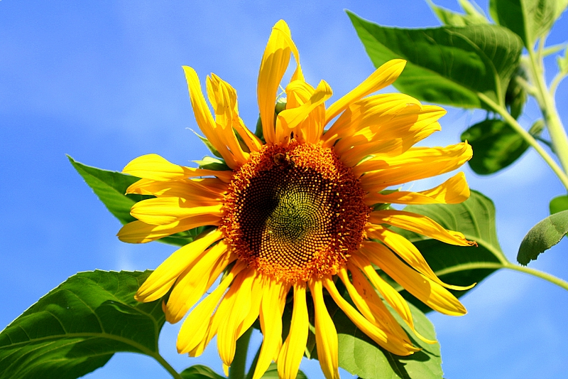 After 3 days of rain, the bright blue sky is a welcome sight to this sunflower...