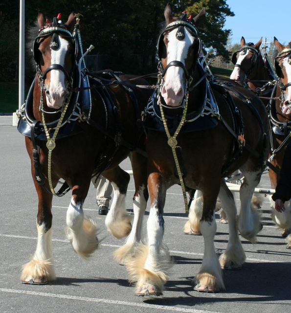 Clydesdales on the move...