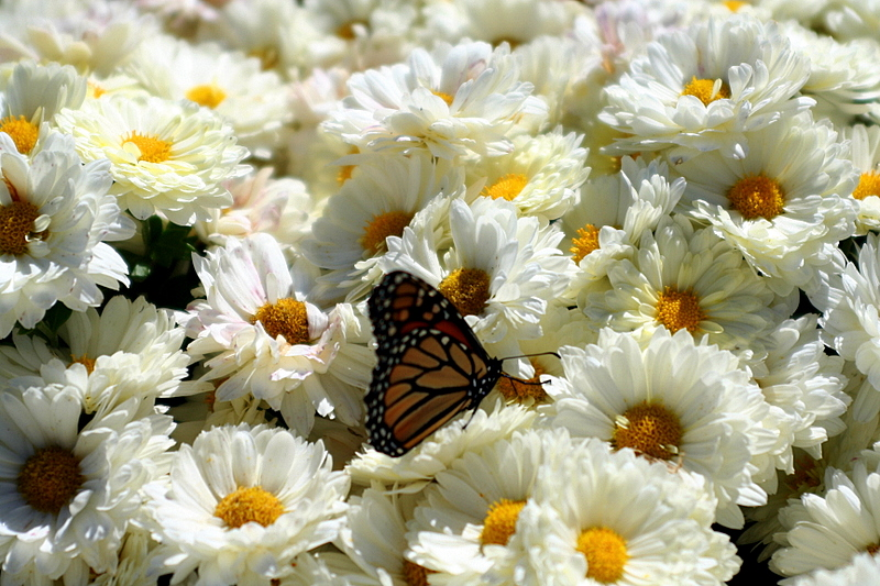 Monarch butterfly basking in sun drenched mums...