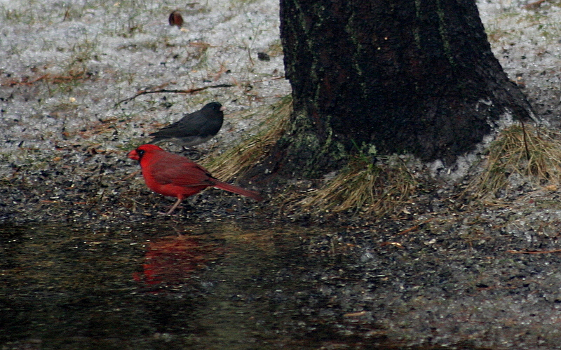Cardinal and his reflection...
