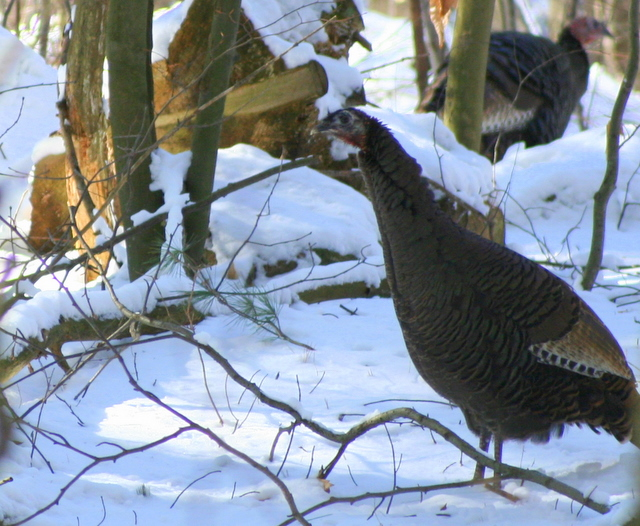 Skinny wild turkey...  plump wild turkey...