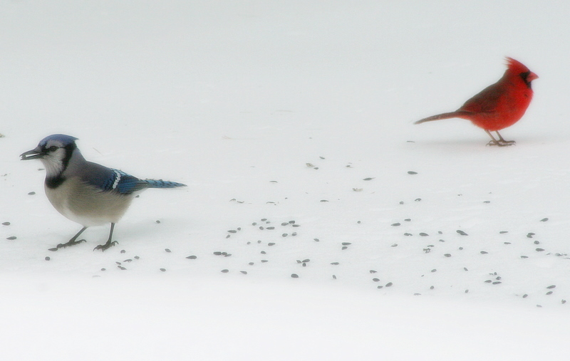 Blue jay, cardinal and some seeds on top of the snow...