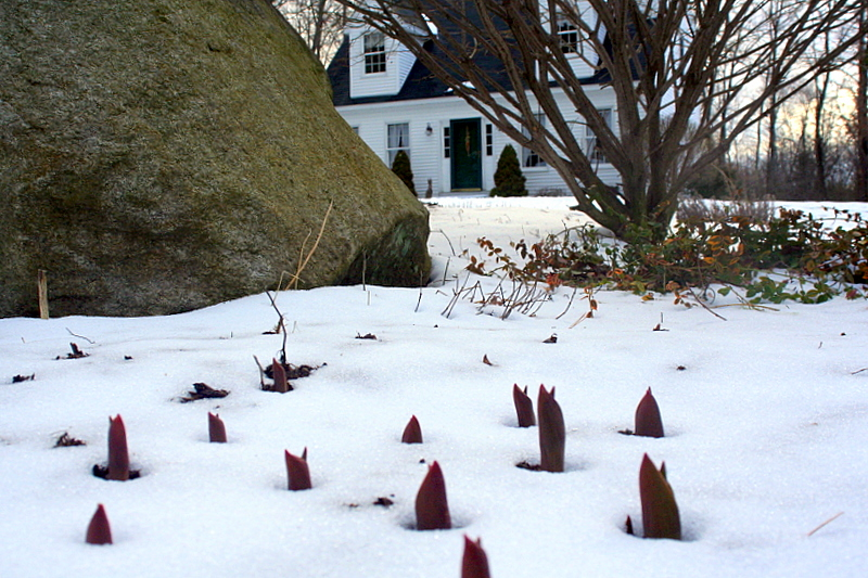 The tulips are trying... despite the snow