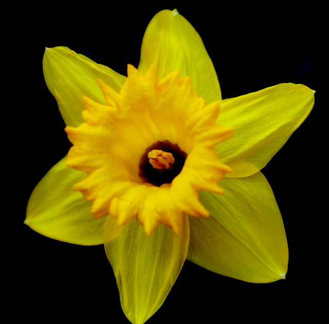 The first daffodil to bloom in my garden this spring...
