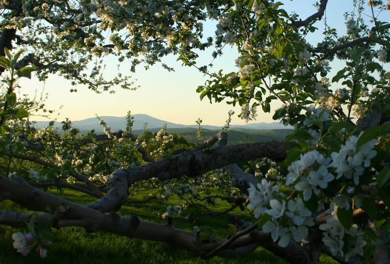 Apple Blossoms and a mountain view at Gould Orchards...