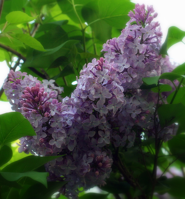 Lilacs...  my favorite part of spring...