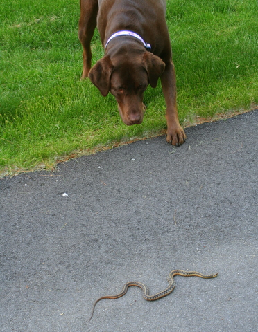 Dog meets snake...  a little more tentative than dog meets toad...