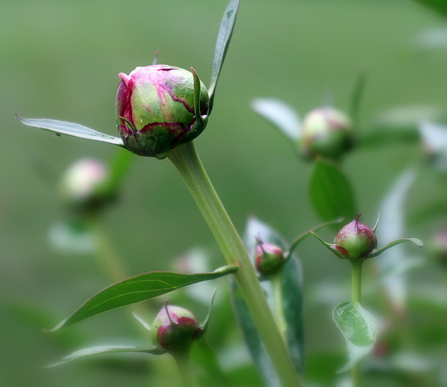June is peony month... can't wait for these to blossom...
