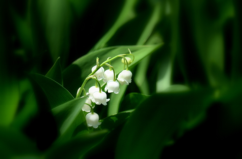 Lilly of the valley....