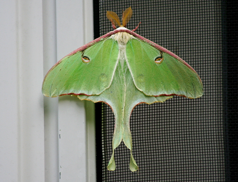 Luna moth - hung out on my deck all weekend...