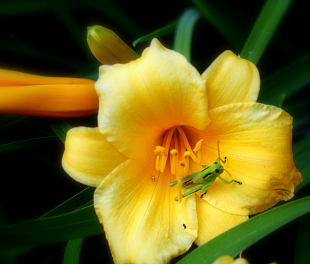 Grasshopper and a daylily bloom...