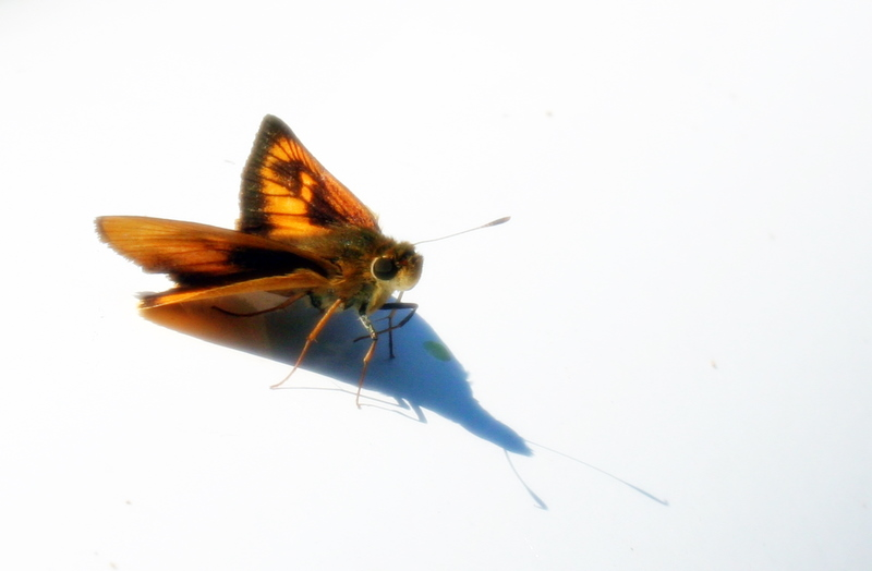 One of summer's many flying creatures...  and I've got plenty of them in my yard.