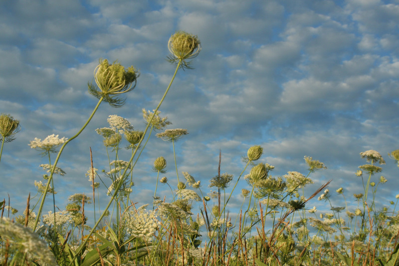 Queen Anne's Lace reaching skyward...