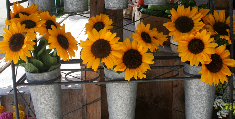 Pails of sunflowers at Dodge's veggie stand...