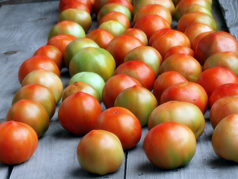 Fresh picked tomatoes...