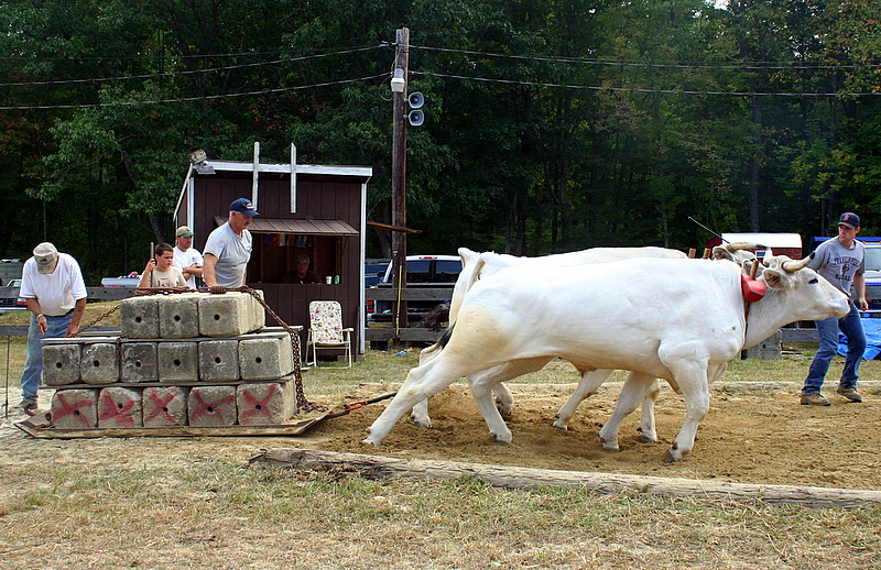 Ox-pull at the Hillsboro County Agricultural Fair...