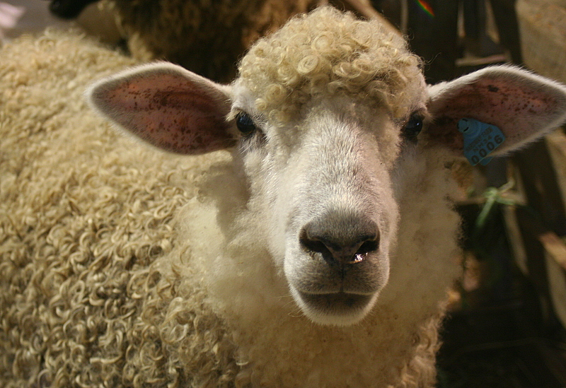 One of the many sheep at the fair...