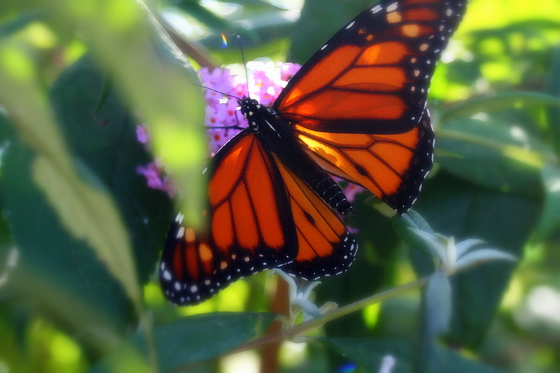 Liked the way the light was hitting this monarch butterfly...