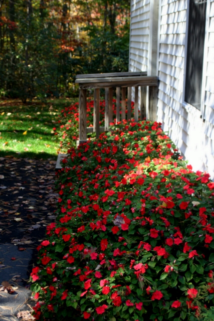 October 25th and my impatiens are still thriving... crazy...