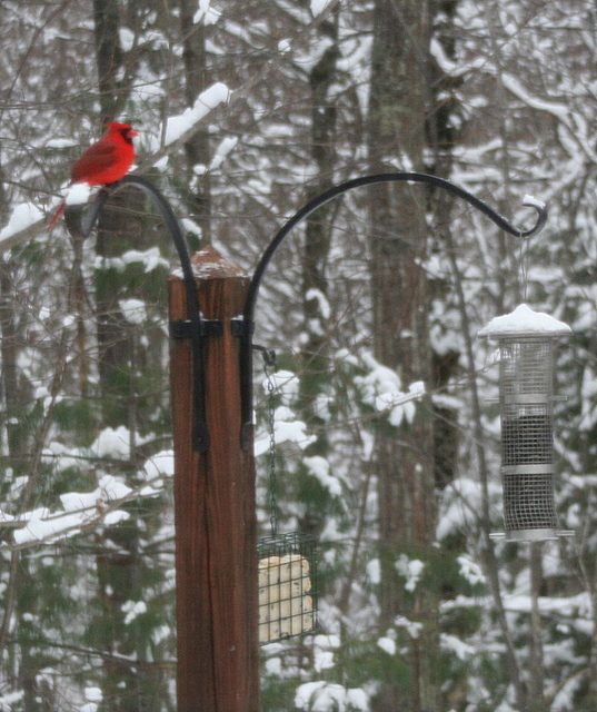 First sighting of the cardinal at my bird feeder...  Happy New Year!
