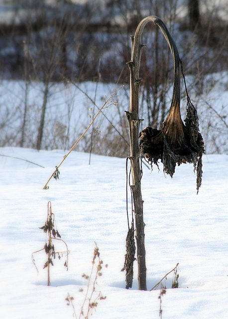 Winter's toll on fall's sunflower...