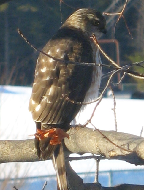 Surprise visitor to the tree outside my office yesterday morning; we think it's a sparrow hawk.