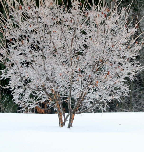 My dogwood tree covered in ice...