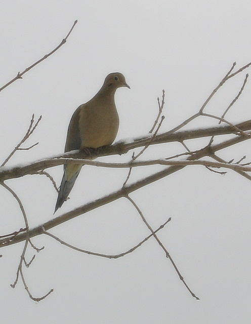 Mourning dove on snowy branch