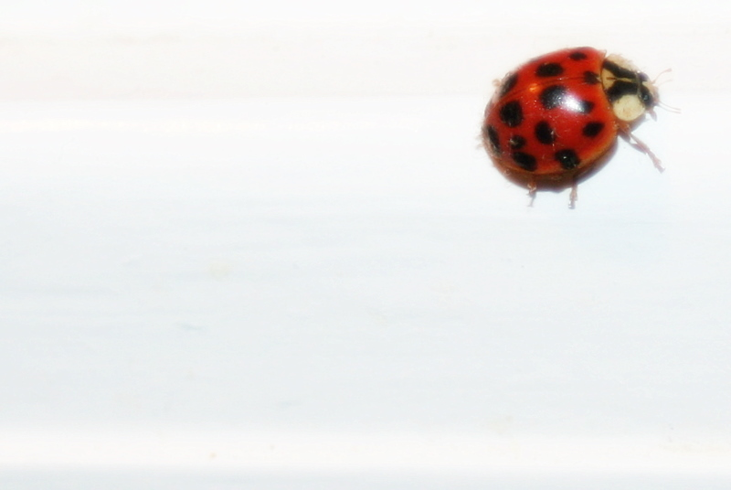 One of the many stray ladybugs I keep finding throughout my house...