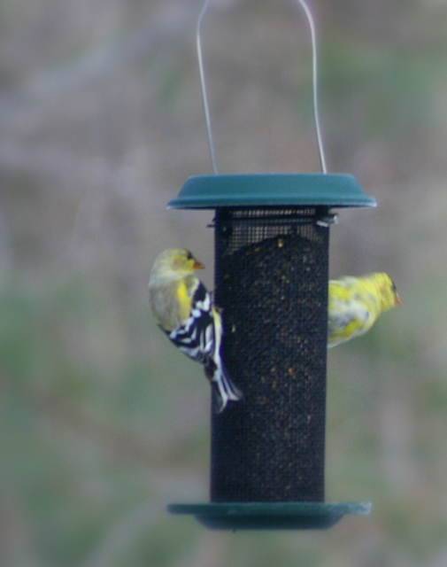 Finches at the feeder...