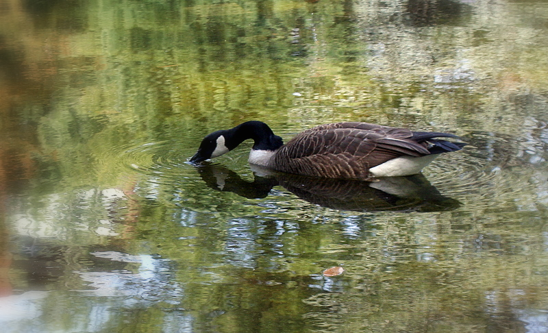 Canadian Goose in a pond of tree reflections...