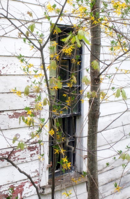 Forsythia and an old window...