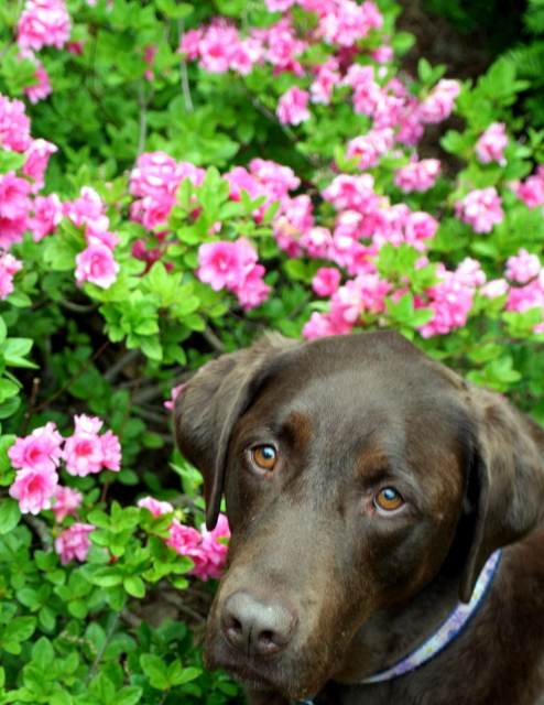 Sophie and the azaleas