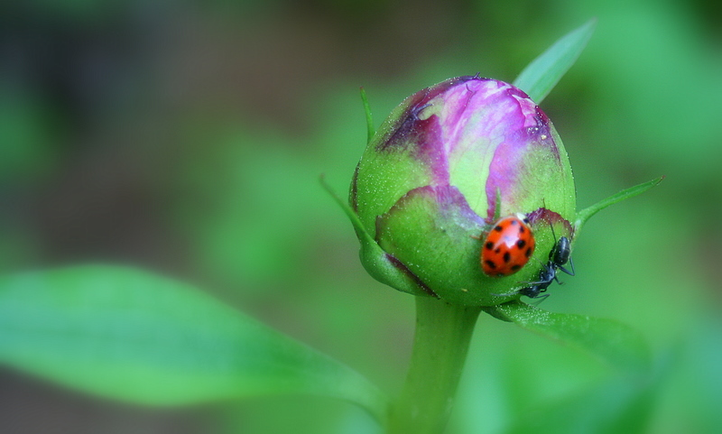 Peony bud playing hostess to a ladybug and an ant...