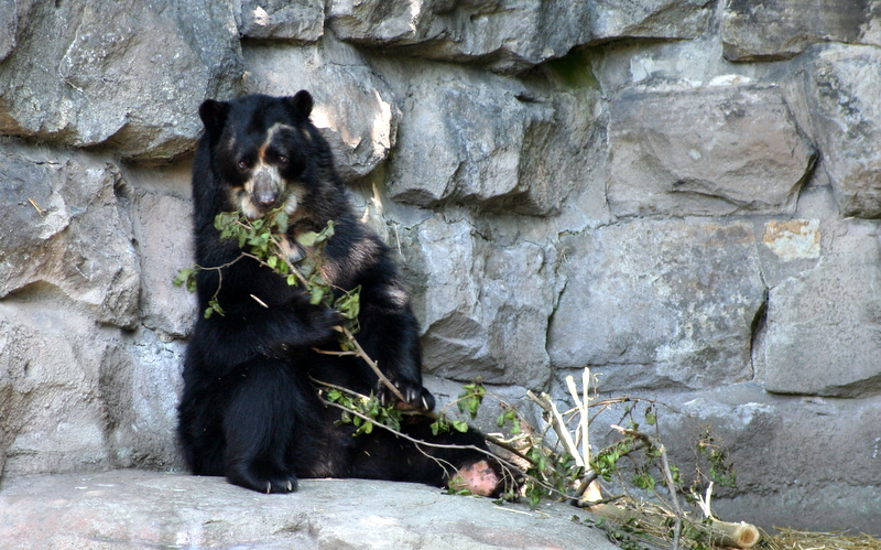 Spectacled bear at the Pittsburgh zoo