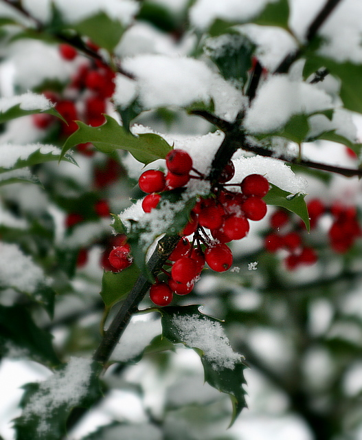 Snowy holly...