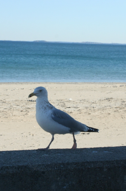 Pacing seagull...