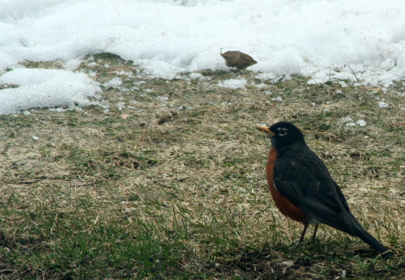 Very appropriate that the first robin sighting in my yard was yesterday...