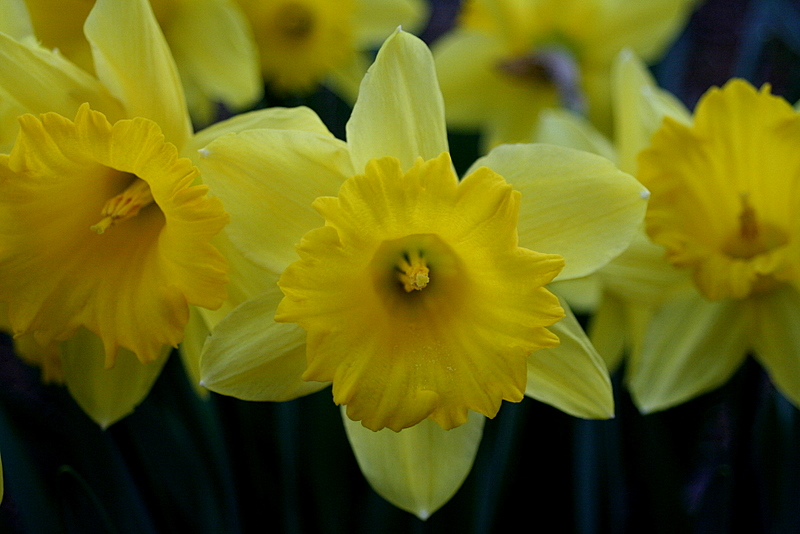 All the daffy's are in full bloom after this weekend's hot weather...