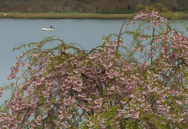 Spring blossoms and a boat