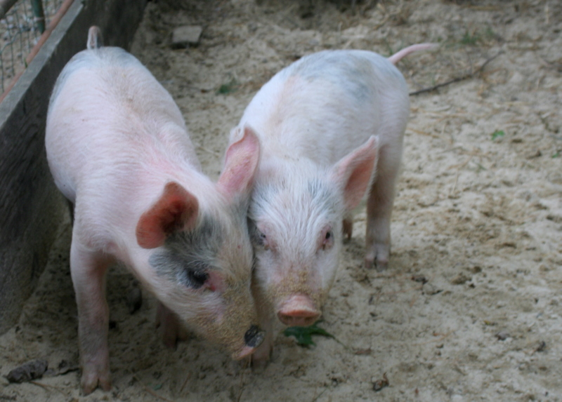 The new piglets at Dodge's Farmstand in New Boston