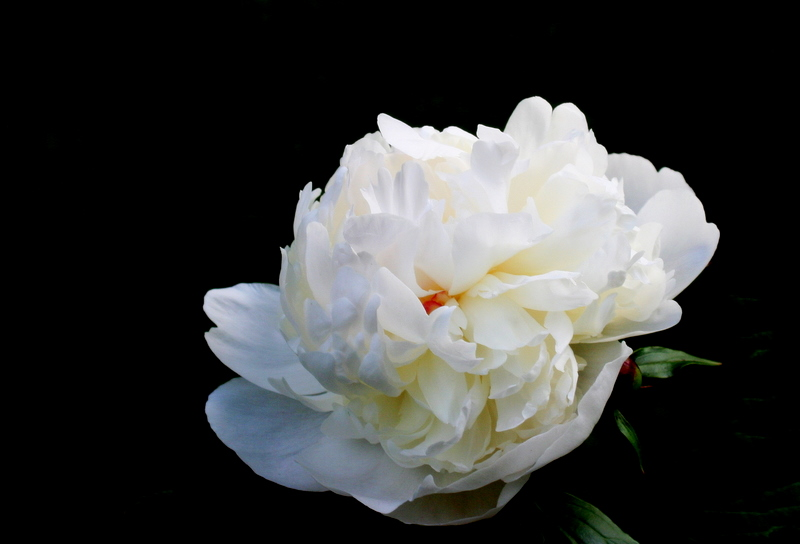 I like pink peonies best but the white ones are pretty too...