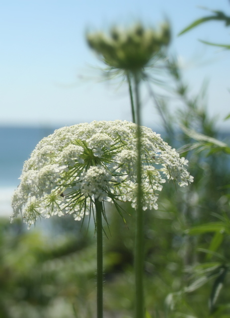 Queen Anne's lace...  or tiny beach umbrella...