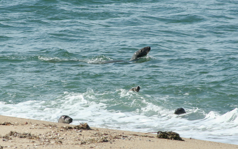 Seals enjoying the water out at Great Point