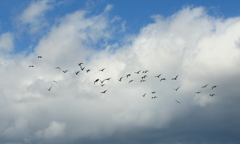 Seagulls - not so good with formation...
