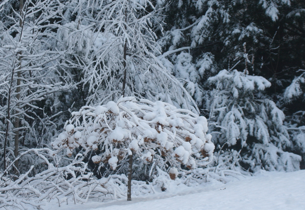 My hydrangea tree dwarfed by its surroundings and snow...