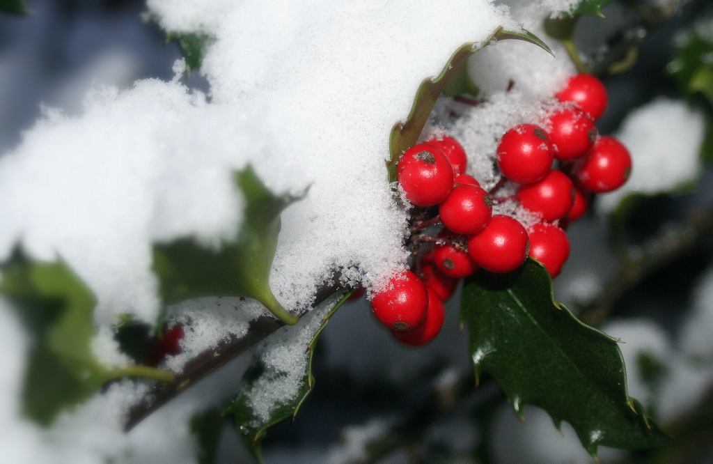 Snow dusted holly