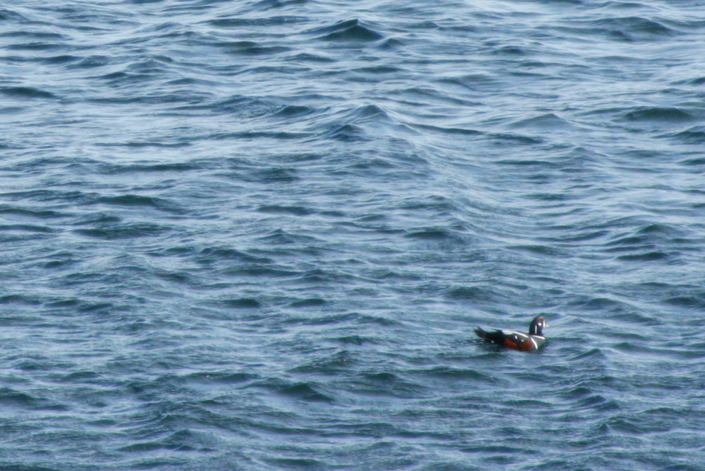 Harlequin Duck making a Valentine's Day appearance along Ogunquit's Marginal Way