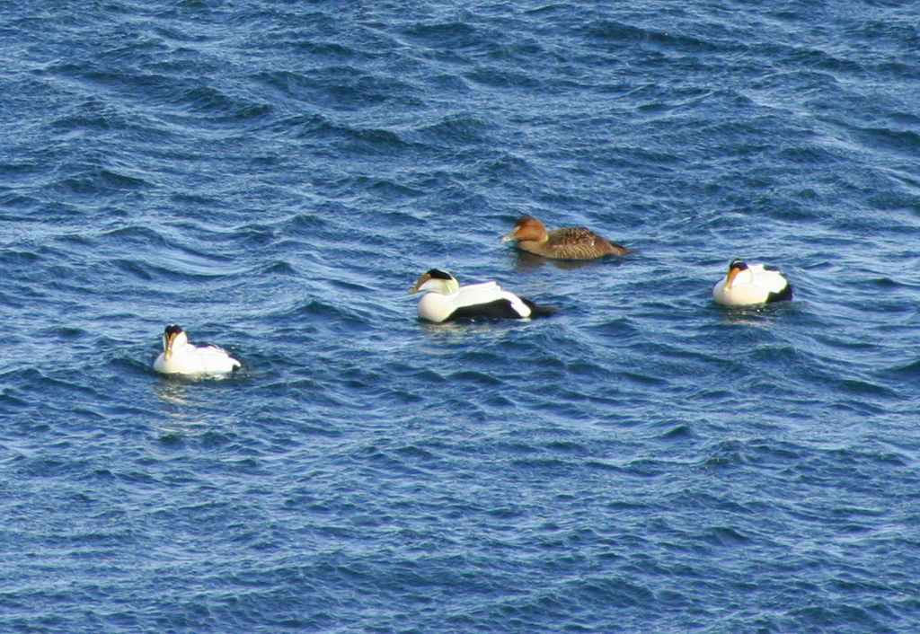 Eider ducks... and a female Mallard