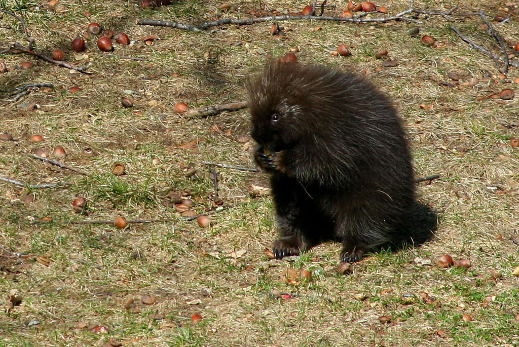 The latest backyard visitor... good thing I saw Porky Porcupine before Sophie did.